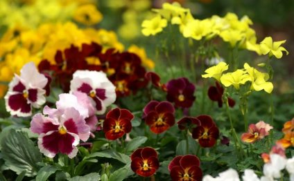Цветы похожие на фиалки фото