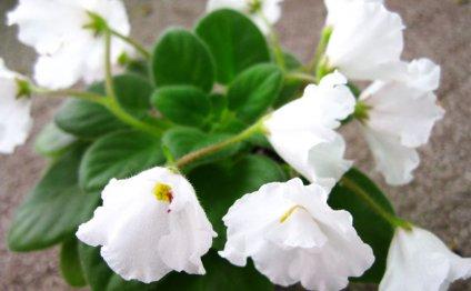 Сенполия очень красиво цветет