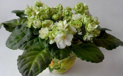 Фиалки с зелеными цветами сорт