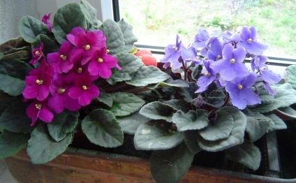 выращивание фиалок и проблемы