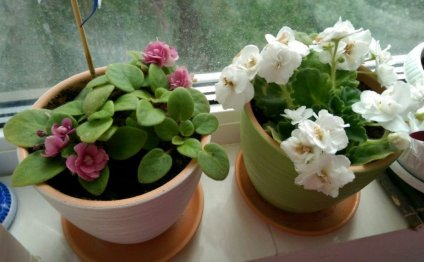 фиалка цветущая розовая белая