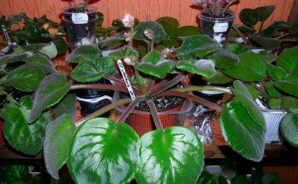 Вытянутые черешки листьев
