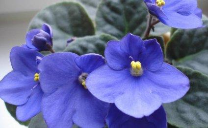 Комнатные растения: фиалка или