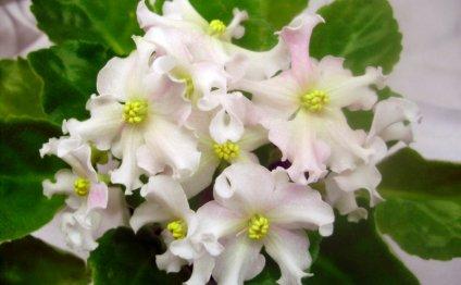 О правиле цветения фиалки