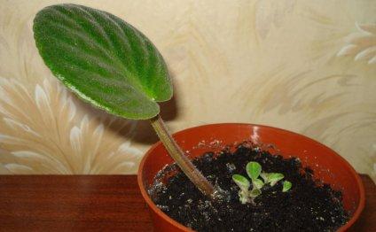 Размножение фиалок листовыми