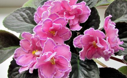 Маркиза, Т.Дадоян, цветы