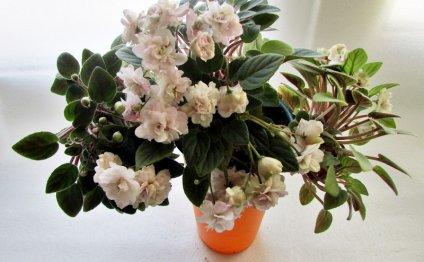 Pink Mint, S.Sorano