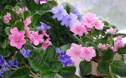 Многообразие расцветок фиалок