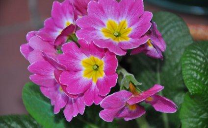 Сенполия фиалкоцветковая
